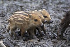 Wildschwein - Frischlinge / Wild boar (uwe125) Tags: springe wisentgehege boar wild animal frischling wildschwein säugetier tier