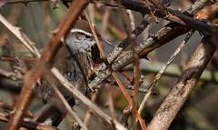 expert bug hunter - you cannot hide from me - Bewick's Wren (foto tuerco) Tags: bewicks wren marsh bird wetlands oregon