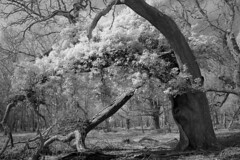Forest sunlight 1 (david.hogan7) Tags: new forest national park trees ivy black white infrared canon converted moody atmospheric fine art dead fallen woods