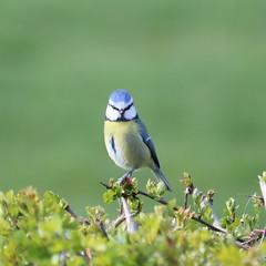 Blue Tit (Wildlife Terry) Tags: bluetit blue tit friday colours colors nature cheshire wildlifeandnature amateur photography april spring2019
