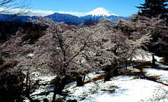 Mt.Fuji,Cherry blossoms and snow :spring miracle: view from Mt.Iwadono,Otsuki,Yamanashi,Japan 岩殿山からの季節外れの雪景色の富士山と桜(take by S.Murakami) (gudonjin) Tags: cherry blossom mtfuji snow mountain spring japan hill