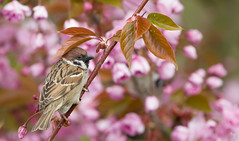 Comfort (Jongejan) Tags: treesparrow ringmus bird animal wildlife nature comfort leaf tree branch outdoor flower spring pink