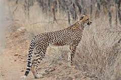 """You Should See Me Run"" (The Spirit of the World ( On and Off)) Tags: cheetah cat feline bigcat safari krugernationalpark southafrica africa offroadsighting gamedrive portrait wildlife nature vulnerable bush thornybushgamereserve"
