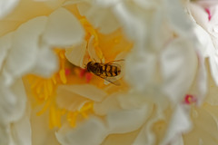 Tu seras ma fleur -  Bee my flower (p.franche busy - occupé) Tags: étamines pistil pétales blanc jaune rose macro plante jardin printemps abeille stamens petals white yellow pink plant garden spring peony green bee blume 花 blomst flor פרח virág bunga bláth blóm bloem kwiat цветок kvetina blomma květina ดอกไม้ hoa زهرة nature bokeh sony sonyalpha65 dxo photolab bruxelles brussel brussels belgium belgique belgïe europe pfranche pascalfranche schaerbeek schaarbeek animal