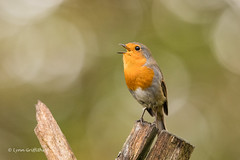 Robin D85_7332.jpg (Mobile Lynn) Tags: birds perched nature chatsrelatives robin bird fauna oscines passeri passeriformes songbird songbirds wildlife coth specanimal coth5 ngc npc