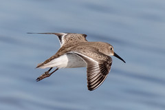 Dunlin in flight (tresed47) Tags: 2019 201902feb 20190205fowlersbeachbirds birds canon7dmkii content delaware dunlin february folder fowlersbeach peterscamera petersphotos places season shorebirds takenby us winter
