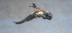 Midflight (woodwindfarm) Tags: american wigeon commonwealthlake bif bird flight sundaylights