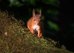 Red Squirrel (redape99_) Tags: fota nikon cork forest ireland mammal native nature telephoto trees wildlife woodland