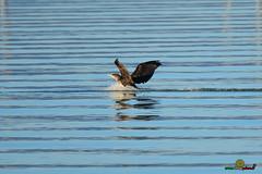 A-LUR_3803 (OrNeSsInA) Tags: aly passignano panicale natura panorami campagma campagna landescape trasimeno nikon canon airone airon cormorano spettacolo birdwatching albero cielo animale mare acqua uccello