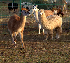 Alpaca (Phil*ippe) Tags: animals farm alpaca