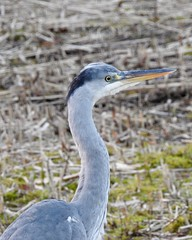 Heron (LouisaHocking) Tags: british bird forestfarm wales wild wildlife nature southwales heron