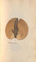n40_w1150 (BioDivLibrary) Tags: greatbritain mollusks museumsvictoria bhl:page=57640211 dc:identifier=httpsbiodiversitylibraryorgpage57640211 conchologicaldictionary conchology shells britishisles britishislands williamturton british