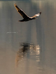 (Valérie C) Tags: greatphotographer bird fly reflect cormoran nature lake wings