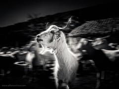 _2090017 (Alfonso Chico) Tags: cabra goat blancoynegro blackandwhite animales animals monochromia