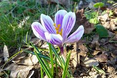 Crocus   (6) (Ezzo33) Tags: nammour ezzat ezzo33 france aquitaine 33 bordeaux ville parcfloral réservedesbarails crocus violet bleu rayé