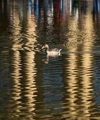 duck soup (Wackelaugen) Tags: duck water reflection swim columns eckensee stuttgart germany canon eos photo photography stephan wackelaugen nature animal bird