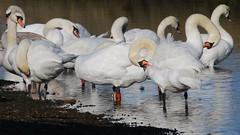 Mute Swans 140219 (1) (Richard Collier - Wildlife and Travel Photography) Tags: birds british britishbirds wildlife naturalhistory muteswan naturethroughthelens