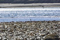 Robin Hood's Bay (101) (rs1979) Tags: greyheron heron robinhoodsbay northyorkshire yorkshire beach rockyforeshore