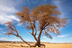 Acacia tree (s_andreja) Tags: mauritania desert tree acacia