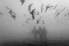 Migratory Birds (geeta_maurya) Tags: bw blackandwhite seagulls yamunaghat yamunariver dailypic migratorybirds naturallight truelifestory monochrome art travel nature boating flyingbirds winter fog people delhi india