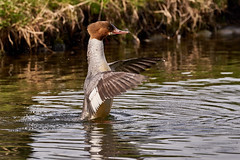 Svasso 86 (simonealbini) Tags: digapanperduto sommalombardo maddalena fiume ticino uccelliacquatici bird anatre svasso anatramandarina animali uccelli acqua sonya7iii sigma150600c