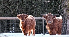 Curious (robinlamb1) Tags: nature outdoor animal cow highlandcattle cattle snow cedar hedge fence sunlight