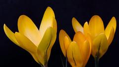 Happy Sunday (AnyMotion) Tags: crocus krokus blossom blüte spring frühling primavera printemps 2019 floral flowers frankfurt garden garten plants anymotion colours colors yellow gelb 6d canoneos6d macro makro makroaufnahmen ngc npc