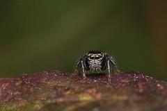 Evarcha arcuata, mâle immature (coteaux de Saint-Martin) (G. Pottier) Tags: afsvrmicronikkor105mmf28gifed kenkoautomaticextensiontubesetdg d850 salticidae saltique jumpingspider springspinne araignéesauteuse arthropode araignée spider spinne evarcha evarchaarcuata araneomorphae araneae arachnida arachnide bigorre biodiversité gascogne gascony occitanie hautespyrénées vision yeux eyes prédateur arañasaltadora araña œil ronce roncier