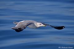 Gabbiano _065 (Rolando CRINITI) Tags: gabbiano uccelli uccello bird birds ornitologia avifauna costaltrip viareggio toscana natura evolution