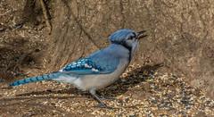 _DSC0282 (johnjmurphyiii) Tags: 06416 birds connecticut cromwell originalnef shelly tamron18400 usa wildlife winter yard johnjmurphyiii