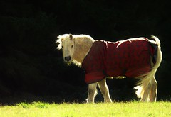 Windswept Winter Pony..x (Lisa@Lethen) Tags: horse pony farm windy weather winter scotland coat sunlight backlit