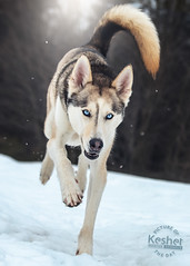 Picture of the Day (Keshet Kennels & Rescue) Tags: adoption dog ottawa ontario canada keshet large breed dogs animal animals pet pets field nature photography winter snow siberian husky blue eyes run tail outdoor outdoors
