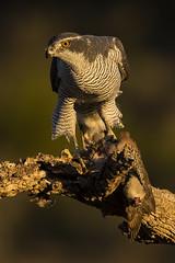 Goshawk (Bill Richmond) Tags: goshawk accipitergentilis accipitriformes accipitridae birdofprey raptor northern nikond810 nikon500f4 spain