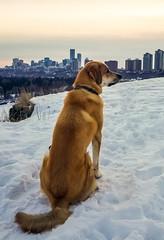 Just a pup and his city (pt2) (L. Brannan) Tags: dog puppy pup landscape cityscape building snow pet yeg edmonton alberta canada city pyrenees malamute