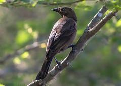 Suspicious Shiny Cowbird (Molothrus bonariensis), Haiti (MikeM_1201) Tags: shinycowbird bird animal wildlife nature logonauxboeufs tree bos morning haiti d500 branch bokeh broodparasite
