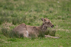 DSC_7679.jpg (dan.bailey1000) Tags: cork ireland wildlife donerailepark sika deer