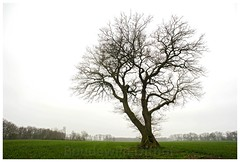 Oak Tree West Side (Boudewijn Olthof) Tags: oak tree engishoak trees landscape nature countryside dutch netherlands holland nikon boudewijnolthof eik eiche chêne drenthe westside west tynaarlo green