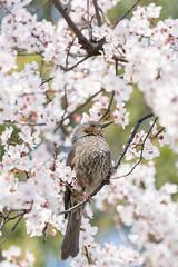 Bulbul with peach tree blossoms (hakuunsai) Tags: bird brownearedbulbul peachtree sony a9 sel100400gm japan spring