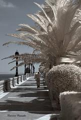 Un paseo por Cádiz  (Infrared) (Geno G.) Tags: infrarrojo infrarrouse camaraconvertida nikond60 hoya filtrohoya cadiz falsocolor infrared palmera paseo costa surdeandalucía