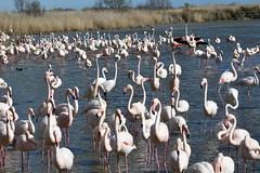 Pont de Gau (philjacq77) Tags: philjacq flamingo flamandsroses birds oiseau camargue nikon nature etang réserveornithologique pontdegau france