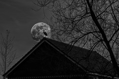 Supermoon 8/52 (rph10uk) Tags: week82019 startingtuesdayfebruary192019 52weeksthe2019edition d5200 supermoon moon blackandwhite heron composite