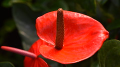 Anthurium (Flamingo Flower), Kew Gardens (rq uk) Tags: rquk nikon d750 kewgardens nikond750 afsvrmicronikkor105mmf28gifed red anthurium flamingoflower anthuriumflamingoflower