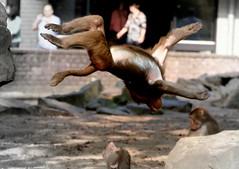The Gymnast (Ger Bosma) Tags: 2mg73332zz mantelbaviaan papiohamadryas hamadryasbaboon sacredbaboon mantelpavian pavian babouinhamadryas papión babuinohamadryas hamadríade babuinosagradoegipcio amadriade jumping jump somersault gymnast monkey salto
