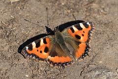 4B9A1531 Small Tortoiseshell Male 190411 FNGY copy (Glenn Beasley) Tags: butterfly macro insect butterrflies spring smalltortoiseshell aglaisurticae macrounlimited macrodreams