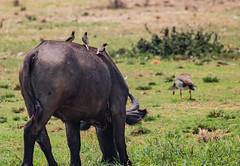 10b-yboxpeckers-2302 (h.redpoll) Tags: kazingachannel africanbuffalo boatride queenelizabethnationalpark uganda yellowbilledoxpecker