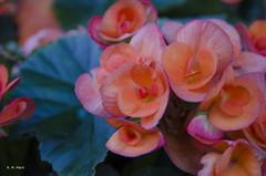 Think abundantly and you will receive abundance. (R. M. Marti) Tags: flores pétalos hojas ramas planta jardín naturaleza flowers petals leaves branches plant garden nature