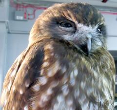 Toddy (billnbenj) Tags: barrow cumbria owl tawnyowl raptor birdofprey