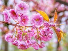 Flowerpower (Jenne Barneveld) Tags: blossom cherryblossom pinkflower pink 50mm olympusem10 bokehphotography bokeh raindrops naturephotography nature natureart flower flowerphotography macronature flowerpower
