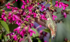 Huntington Beach Central Park 4.13.19 1 (Marcie Gonzalez) Tags: 2019 secret garden hummingbird hummingbirds hummer hummers fly fast wing midair mid air sunlight soft bird birds purple stem flower flowers branch branches nature wildlife huntington beach central park parks gardens california socal southern so cal ca calif usa america orange county pretty sweet humming wings small beautiful north animal marcie gonzalez marciegonzalez marciegonzalezphotography photography canon united states huntingtoncentrapark huntingtoncentralpark