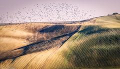 Stormo (SDB79) Tags: uccelli stormo colline campagna molise natura